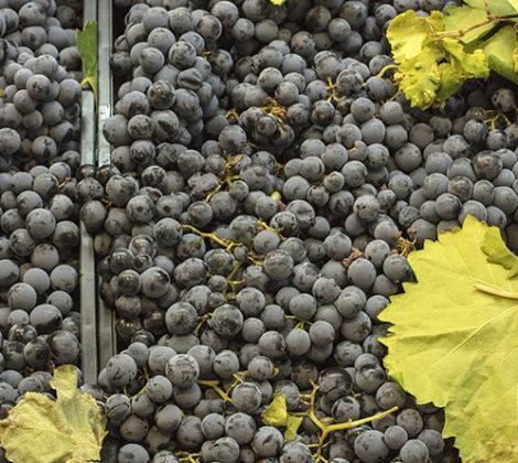 Tempranillo Wein: Der spanische Favorit